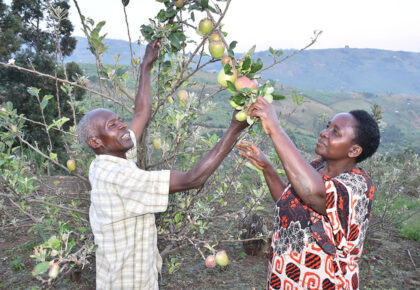 Retired teacher earns big from apples in Buhweju