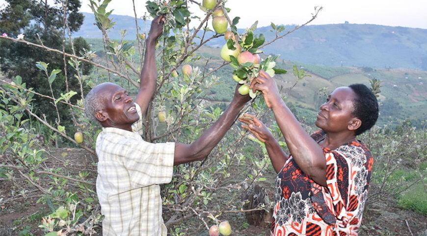 Retired teacher earns big from apples in Buhweju
