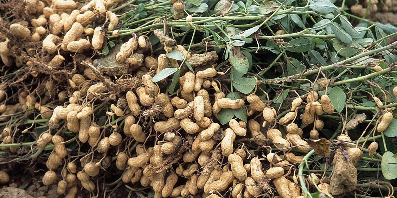 Ground Nut Growing