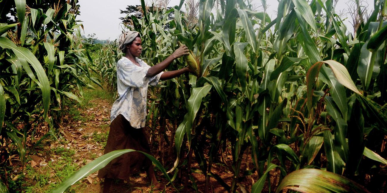 Maize growing in Uganda