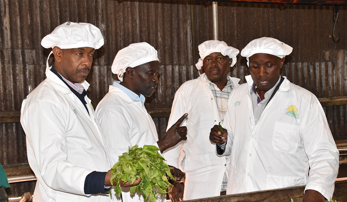 Buhweju to get additional 54 million tea Seedlings