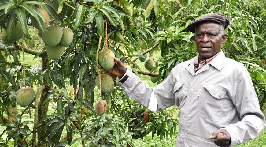 73 year old Mpumwire Zedekiah reaping big from Mango farming