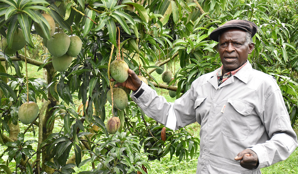 73 year old Mpumwire Zedekiah reaping big from Mango farming