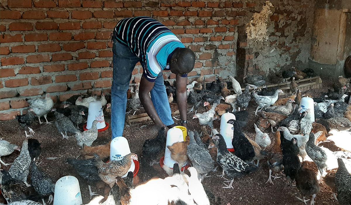 Chicken Rearing