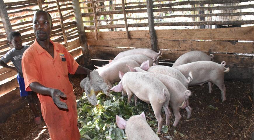 Wasswa and Nkoba transform their household income through piggery farming