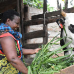 Heifer improves nutrition and income in Mugisa's home