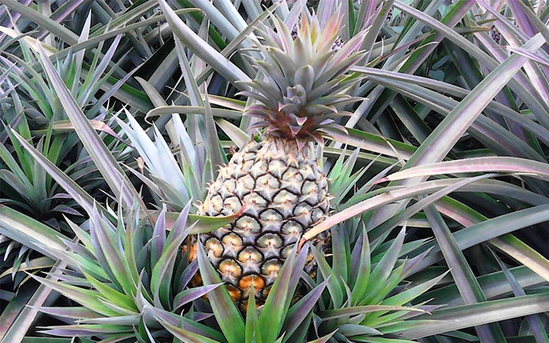 Pineapple Insects, Pests and Diseases