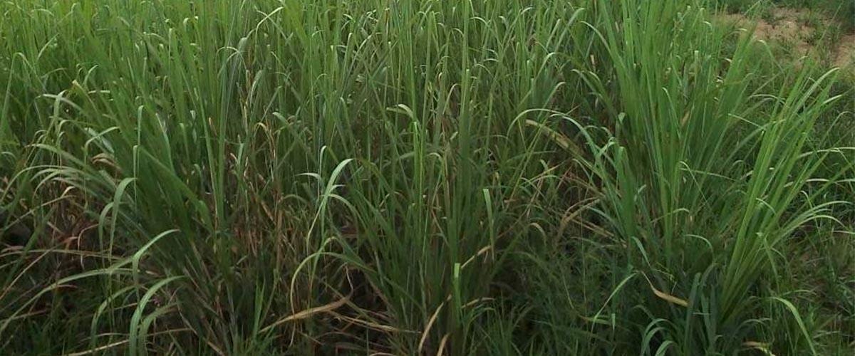 Ataik Sugarcane