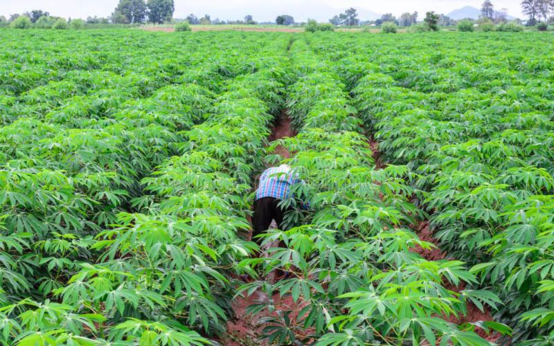 Cassava Harvesting