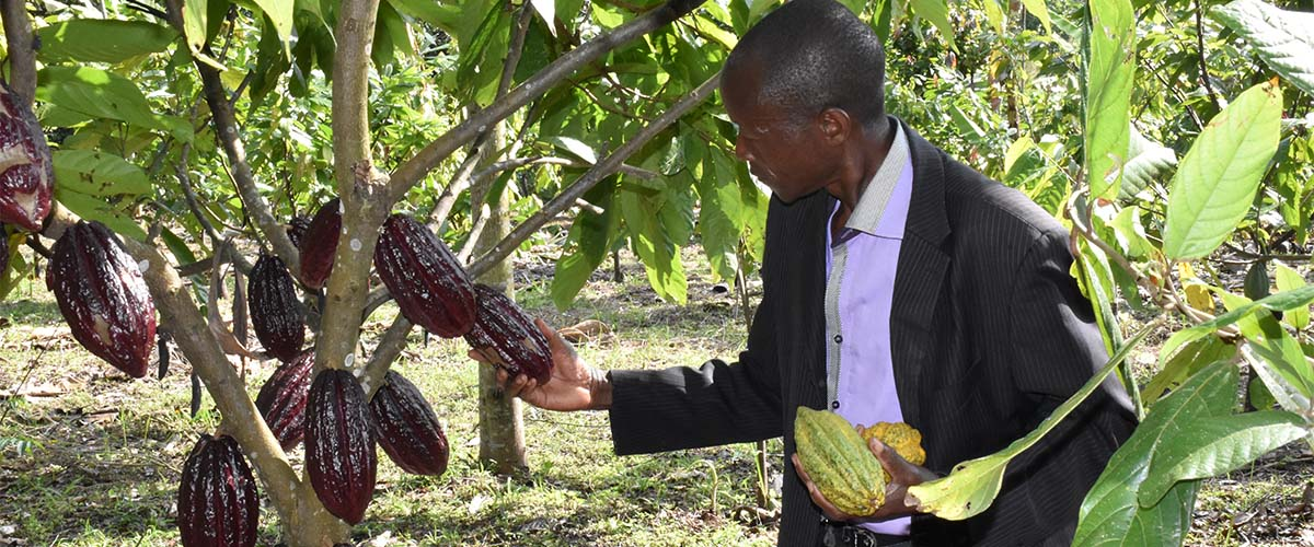 Common Cocoa varieties