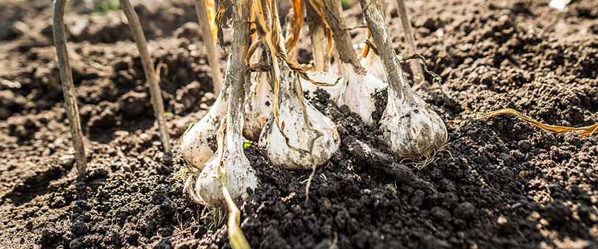 Managing Garlic Beds for Pests and Disease