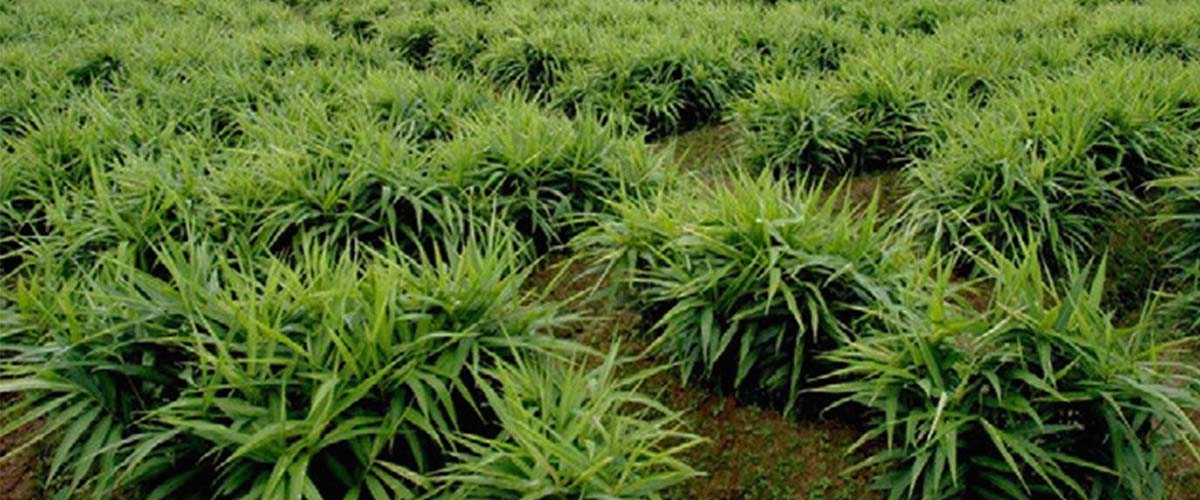 Ginger Weed Management
