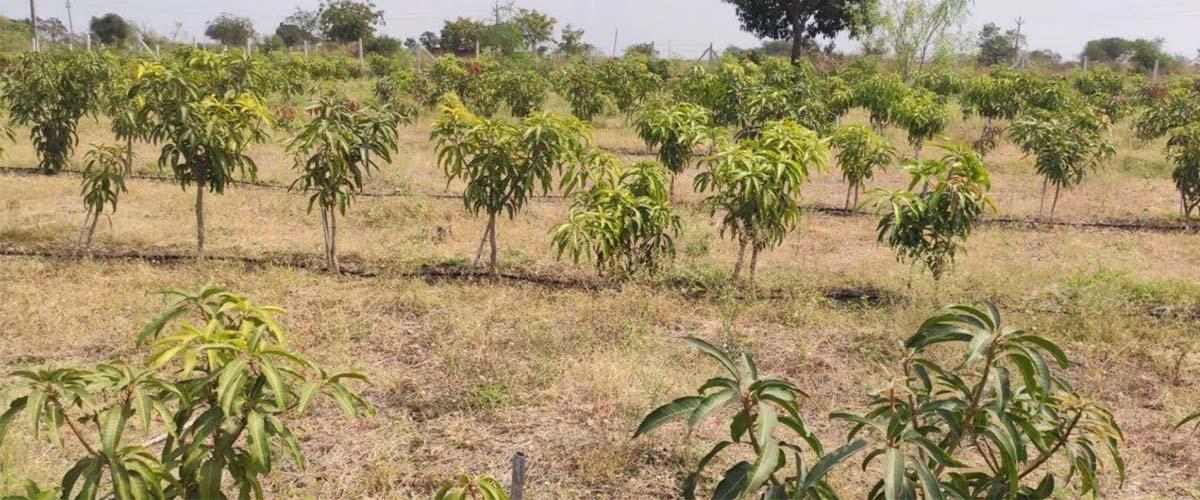 Mango Planting