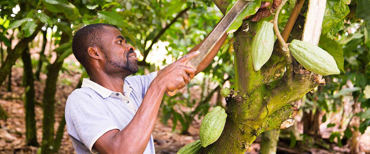 How to Weed and Prune Cocoa