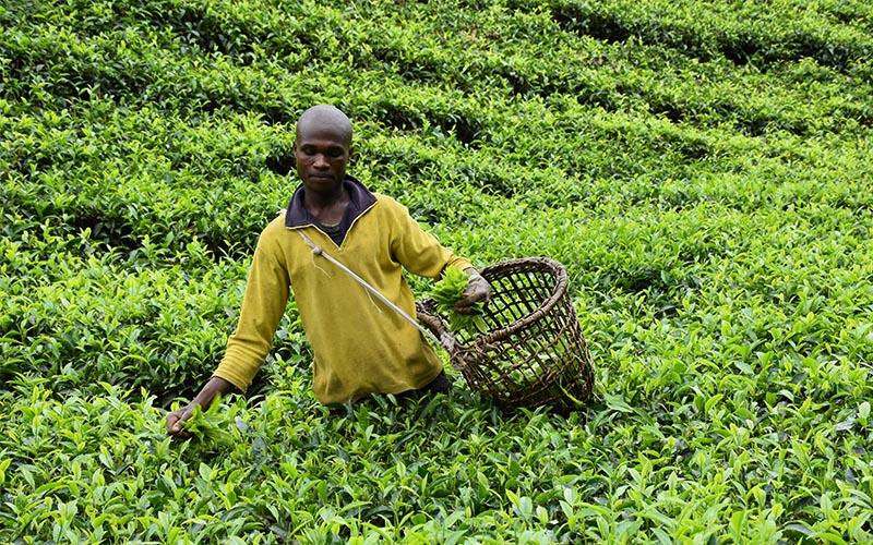 Tea Growing